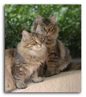 сибірські кішки фото