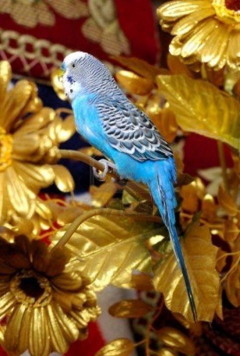 Фото - Скільки живе хвилястий папуга?