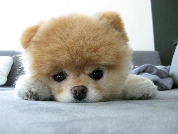 Фото - Собака, схожа на ведмедика - це просто диво, яке варто завести