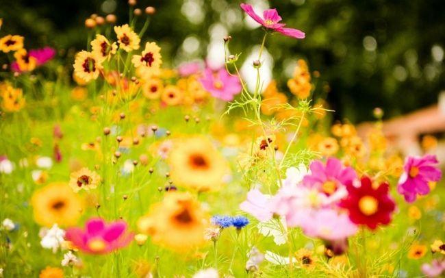 чорні квіти сонник