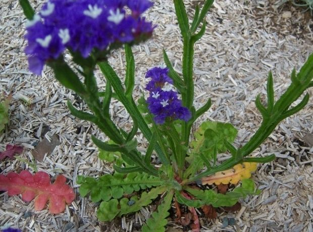 Фото - Статиця: вирощування з насіння