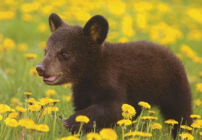ведмедик клишоногий по лісу йде