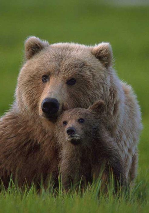 клишоногий ведмедик