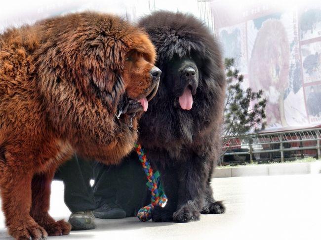 Фото - Тибетський мастиф: розміри собаки, опис породи