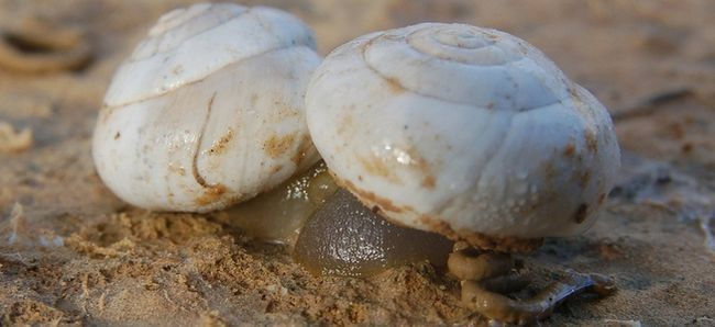 що таке слинна заліза у молюсків