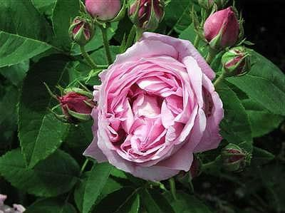 Фото - Попелиця на трояндах - як боротися з цим шкідником
