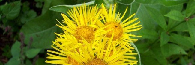 Фото - Трава оман: лікувальні властивості