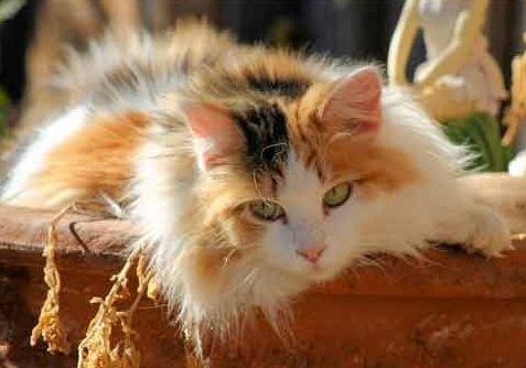 Фото - Триколірні коти: удача так близько?