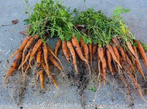 Фото - Добриво для моркви та її правильне вирощування