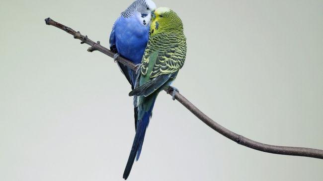 Фото - У вашому будинку з'явилися хвилясті папуги? Як відрізнити самця від самки?