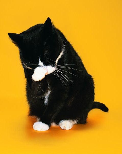 Фото - Вазелінове масло для кішки допоможе вивести шерсть з шлунку