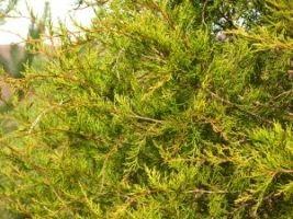 Фото - Вічнозелені кущі: ялівець віргінський