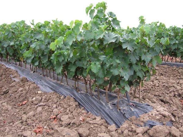 Фото - Виноград в Підмосков'ї: вирощування з кращим результатом