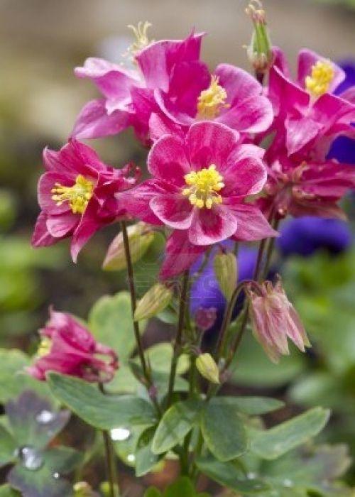 Фото - Водозбірник - квітка на вашій ділянці