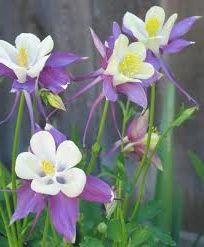 Квіти водозбірник