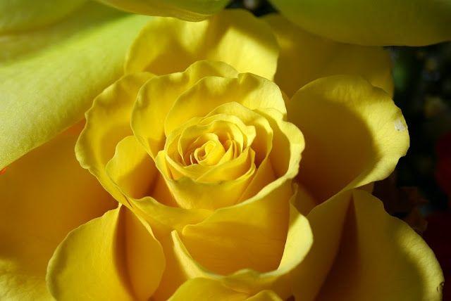 жовті троянди символ