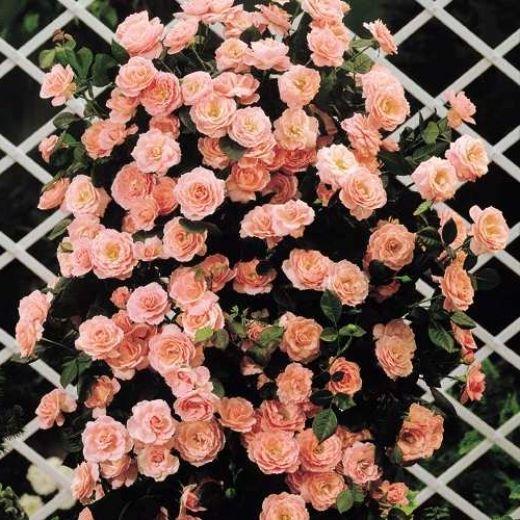 Фото - Вирощуємо в'юнкі троянди. Посадка і догляд