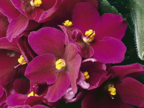 Фото - Вирощування квітки сенполія, догляд в домашніх умовах