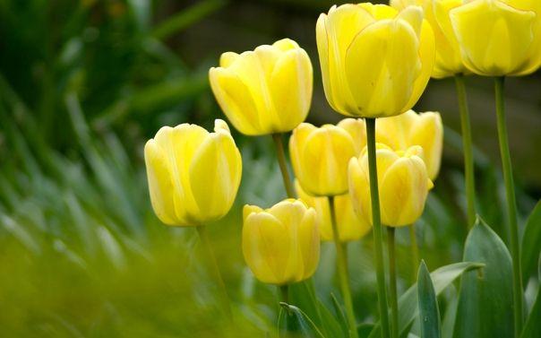 Сонник жовті квіти