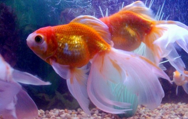 Фото - Золота рибка в акваріумі - символ затишку і спокою