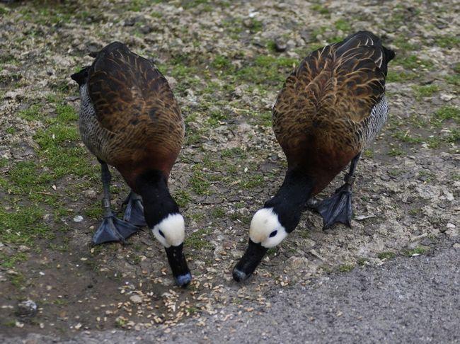 Фото - Чим годувати качку? Вирощування качок