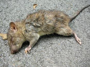 Фото - До чого сниться дохлий щур: значення сну