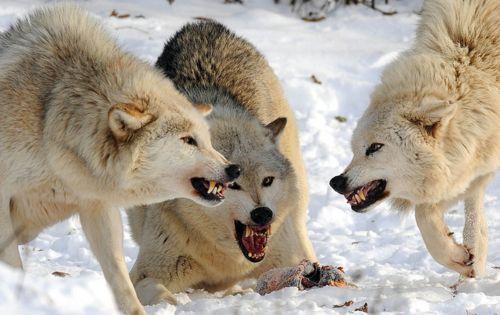 Фото - До чого сниться зграя вовків: нападників, дружніх або спостерігають