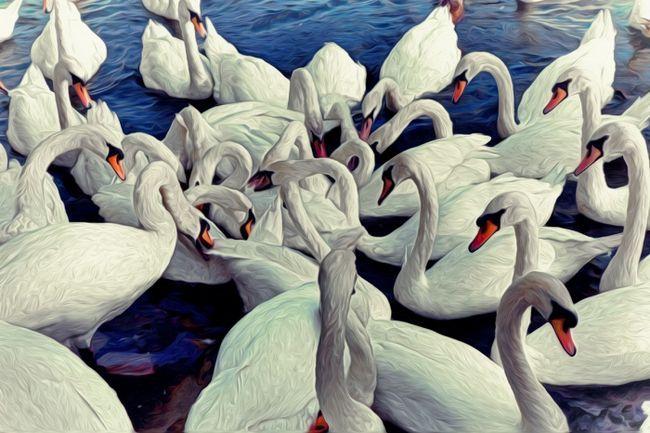 Фото - До чого сняться лебеді (на воді, в небі)? До чого сниться чорний лебідь?