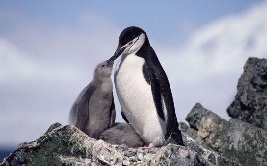 Фото - До чого сняться пінгвіни (у воді, на березі)? До чого сняться пінгвіни вагітною?