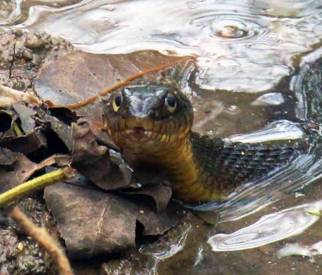 Фото - До чого сняться змії у воді? Що означає, якщо змія у воді кусає уві сні?