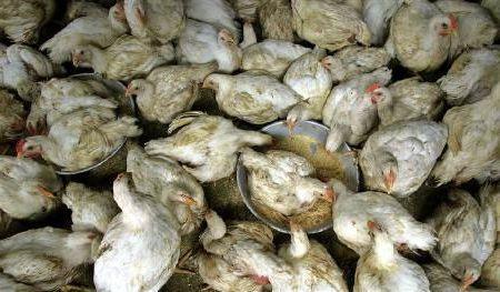 догляд за курчатами