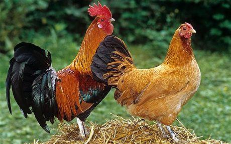 Фото - Як півні запліднюють курку? Скільки курей може запліднити півень?