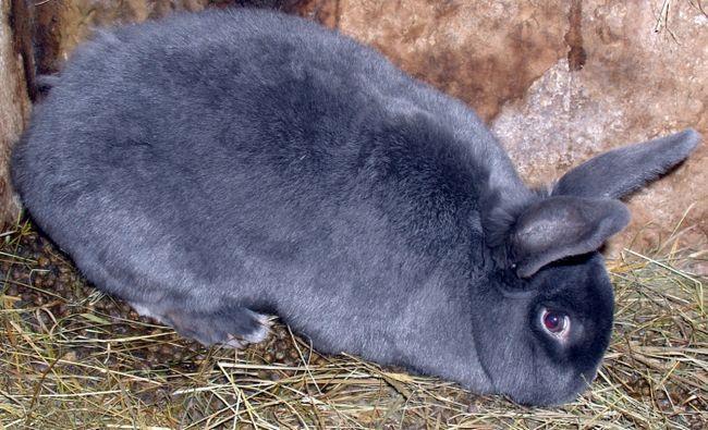 Фото - Опис породи: віденський блакитний кролик
