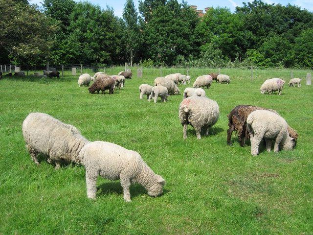 Фото - Вівчарство: бізнес-план. Вівчарство як бізнес від