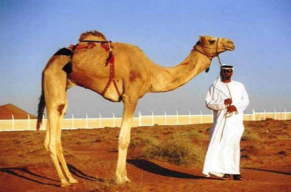 Фото - Верблюд: сонник Міллера, мусульманський сонник. До чого сняться верблюди?